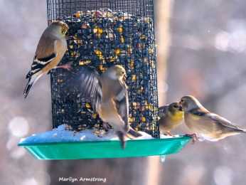 300-flock-of-warblers-hungry-birds-01222019_072