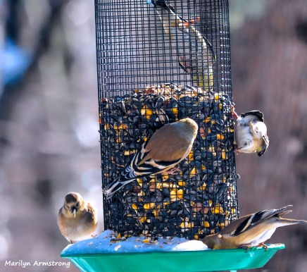 300-flock-of-warblers-hungry-birds-01222019_091