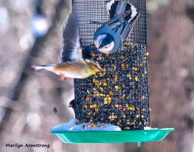 300-flying-warbler-nuthatch-hungry-birds-01222019_043