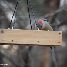 300-Gold-Fronted-Woodpecker-3-Birds-01182019_030