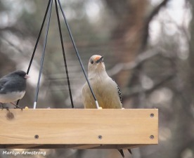 300-Gold-Fronted-Woodpecker-3-Birds-01182019_027