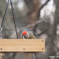300-Gold-Fronted-Woodpecker-3-Birds-01182019_28