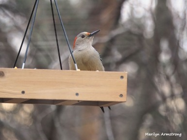 300-Gold-Fronted-Woodpecker-3-Birds-01182019_31