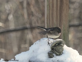 Junco on the Toad