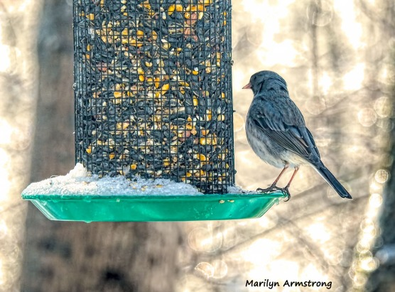 Well-chilled Junco