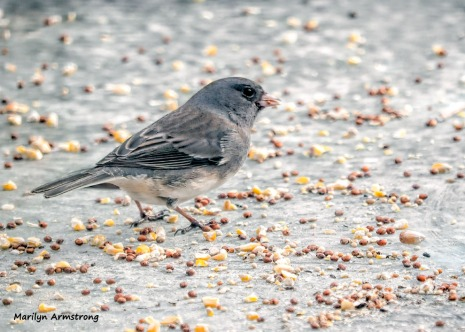 300-junco-on-the-table-first-friday-birds-01042019_021