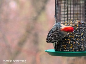 300-ladderback-redhed-woodpecker-final-tuesday-birds-01292019_213