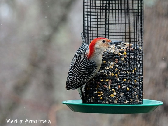 300-ladderback-redhed-woodpecker-final-tuesday-birds-01292019_214