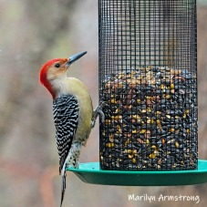Red-bellied Woodpecker with a very pointy beak