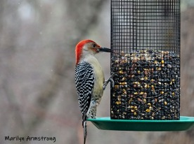 300-ladderback-redhed-woodpecker-final-tuesday-birds-01292019_217