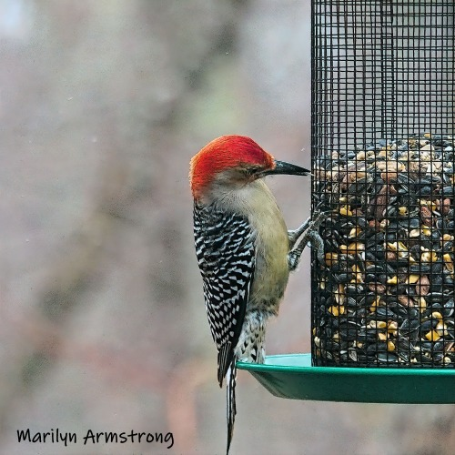 300-ladderback-redhed-woodpecker-final-tuesday-birds-01292019_218