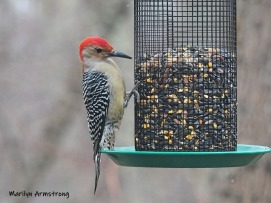 300-ladderback-redhed-woodpecker-final-tuesday-birds-01292019_219