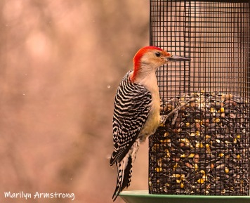 300-ladderback-redhed-woodpecker-final-tuesday-birds-01292019_220