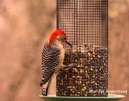 300-ladderback-redhed-woodpecker-final-tuesday-birds-01292019_221