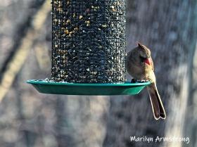 300-lady-cardinal-saturday-4-birds-01262019_011