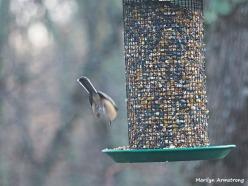 300-landing-chickadee-first-sunday-birds-01062019_070