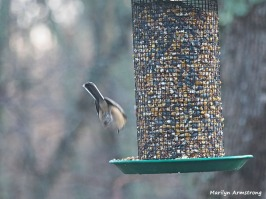 Diving Chickadee