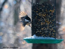 Chickadee coming in for a landing!