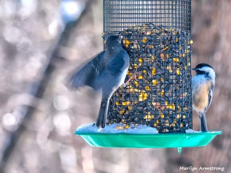 300-landing-junco-chicadee-hungry-birds-01222019_038