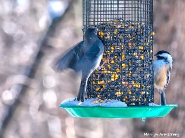 300-landing-junco-chicadee-hungry-birds-01222019_038