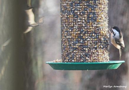 300-landing-titmouse-and-chickadee-first-sunday-birds-01062019_013