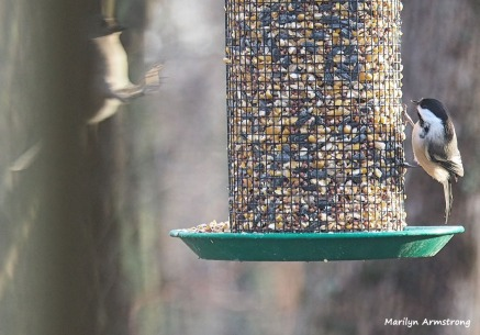 Titmouse in the air and Chickadee on the feeder