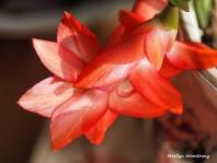 300-macro-christmas-cactus-2-01032019_012
