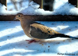 300-mourning-dove-hungry-birds-01222019_026