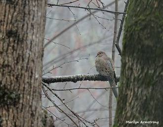 300-mourning-dove-tuesday-1a-birds-01082019_111