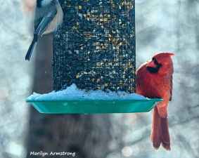 300-nuthatch-cardinal-frozen-monday-birds-01212019_045