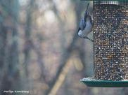 300-nuthatch-first-sunday-birds-01062019_082