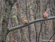 300-pair-mourning-doves-birds-01192019_017