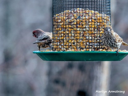 300-pari-of-red-finches-first-friday-birds-01042019_001