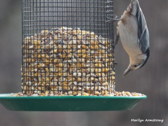 300-red-bellied-nuthatche-first-friday-birds-01042019_029