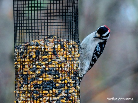 300-red-bellied-woodpecker-birds-12282018_054