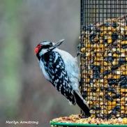 300-red-bellied-woodpecker-birds-12282018_058