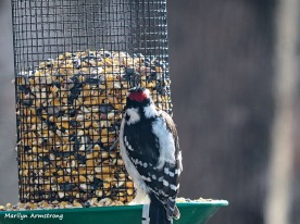 300-red-belly-woodpecker-0102-01022019_140