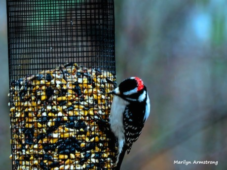 300-red-cap-woodpecker-new-first-friday-2-birds-12282018_322