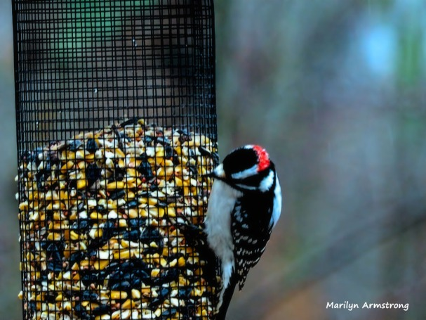 300-red-cap-woodpecker-new-first-friday-2-birds-12282018_322