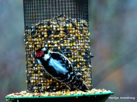 300-red-cap-woodpecker-new-first-friday-2-birds-12282018_323