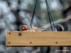 300-red-finch-and-junco-first-friday-birds-01042019_007