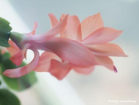 300-rose-border-last-cactus-flower-01072019_008