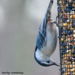 300-square-nuthatch-close-wednesday-1-birds-01092019_010