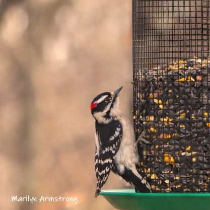 300-square-woodpecker-last-monday-birds-01282019_031