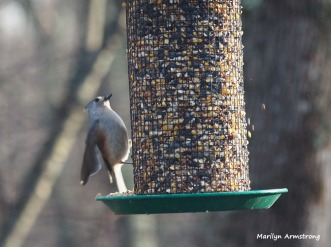 300-titmouse-first-sunday-birds-01062019_026