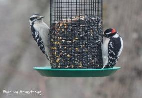 300-tw0-woodpeckers-tuesday-birds-01292019_317