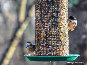 300-two-chickadees-first-sunday-birds-01062019_023