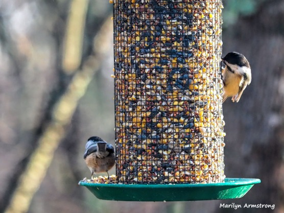 300-two-chickadees-first-sunday-birds-01062019_023