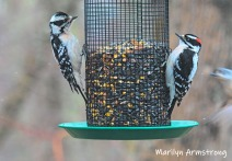 Pair of Woodpeckers