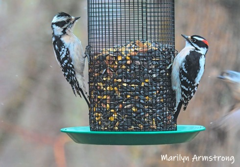 300-two-woodpeckers-tuesday-birds-01292019_313